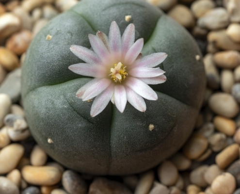 What Is Peyote? Everything You Need to Know About Mescaline Cactus