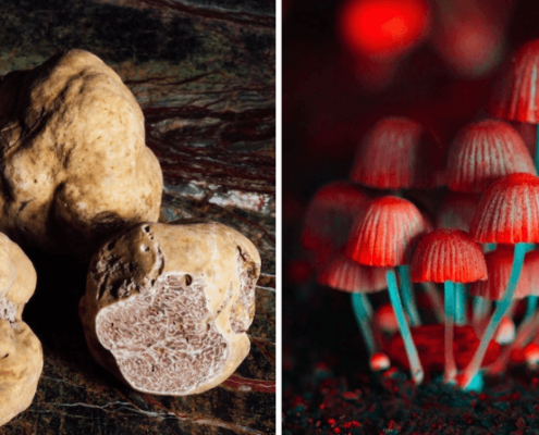 What are Psilocybin Truffles? Are They Safe?
