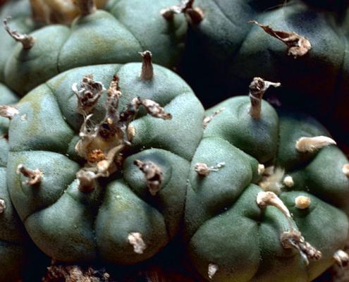 The Benefits of Peyote: Ancient Wisdom, Modern Medicine