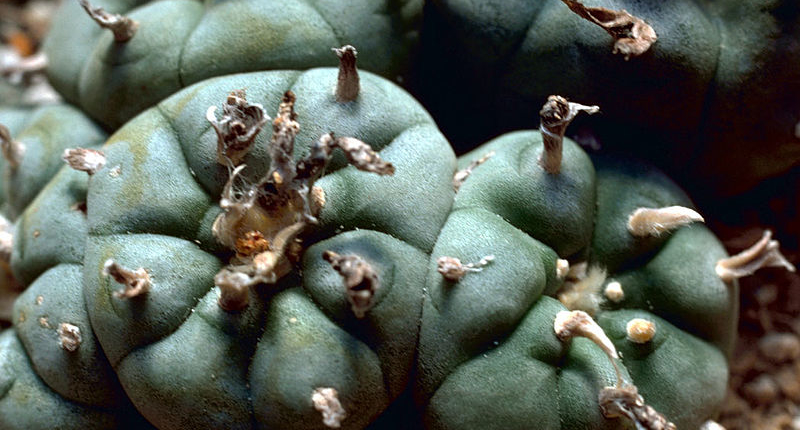 The Benefits of Peyote: Ancient Wisdom, Modern Medicine